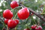 Вам поможет похудеть вишня